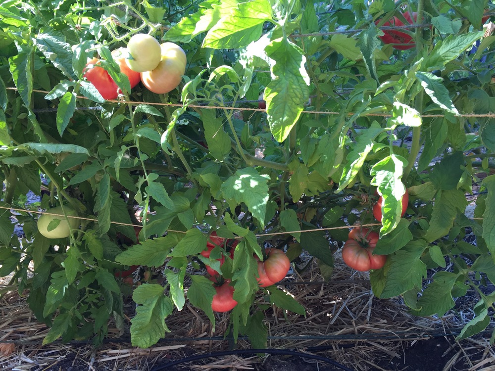 Beefsteak tomatoes ripening on the vine