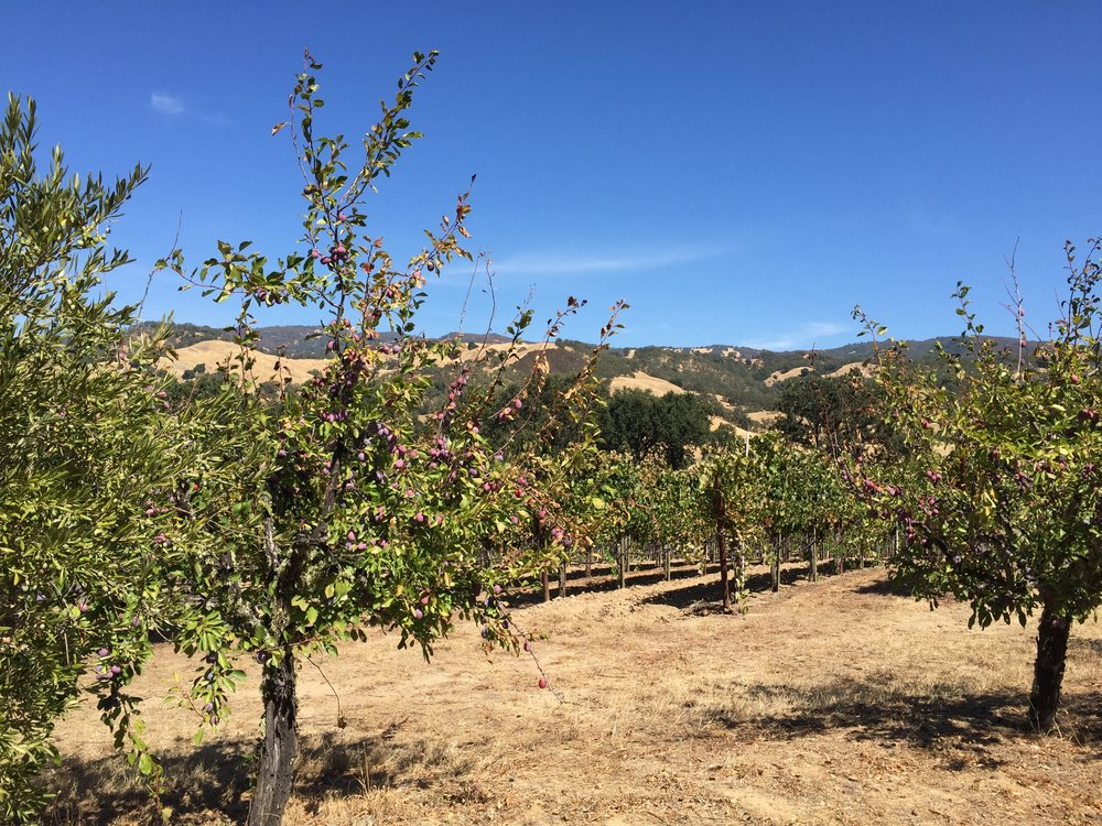 The hills near HREC, with fruit trees, grape vines, and the golden hills of CA