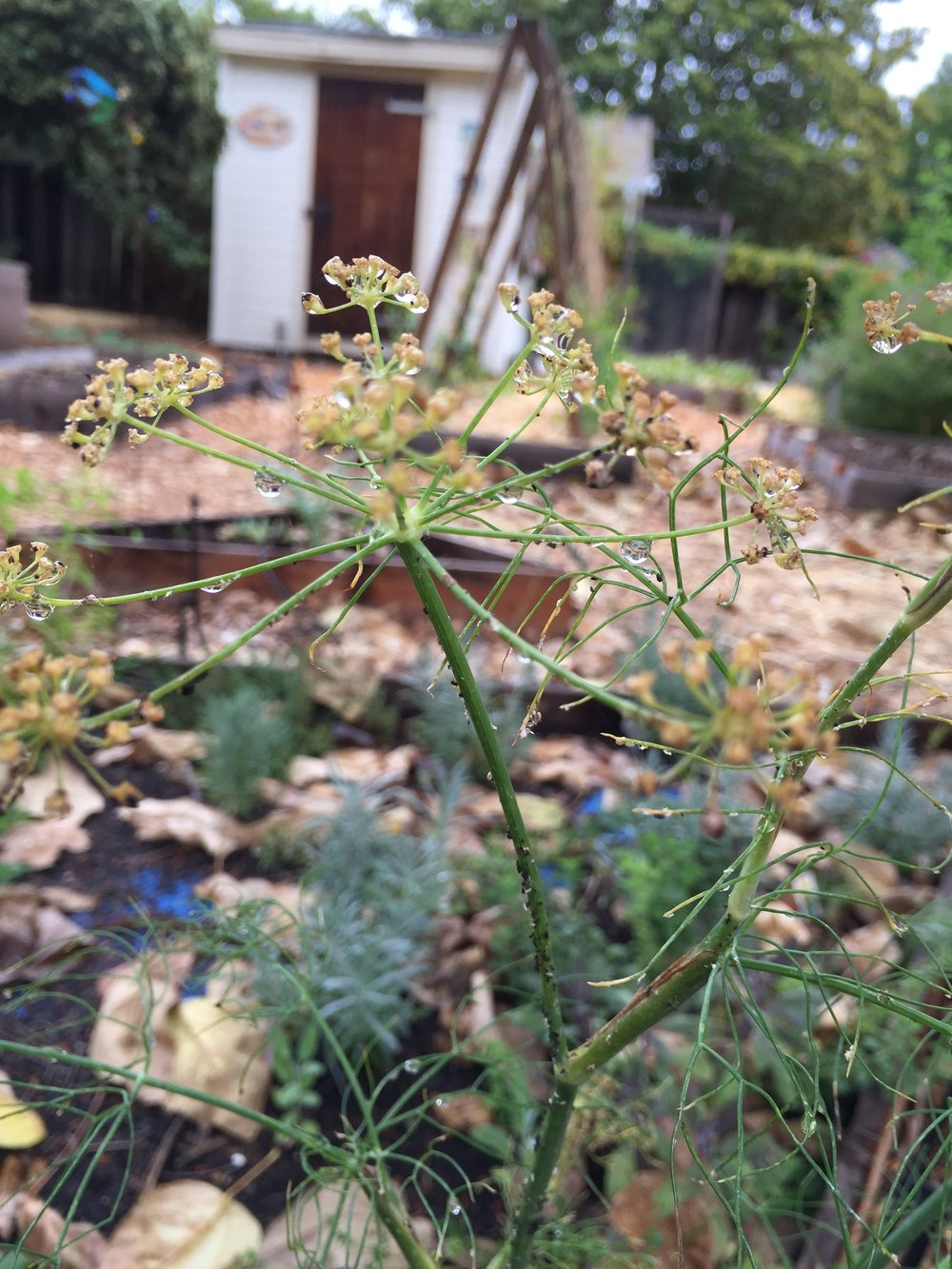 fennel with aphids
