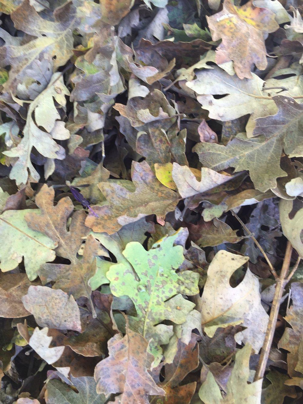 Valley Oak leaves in my driveway