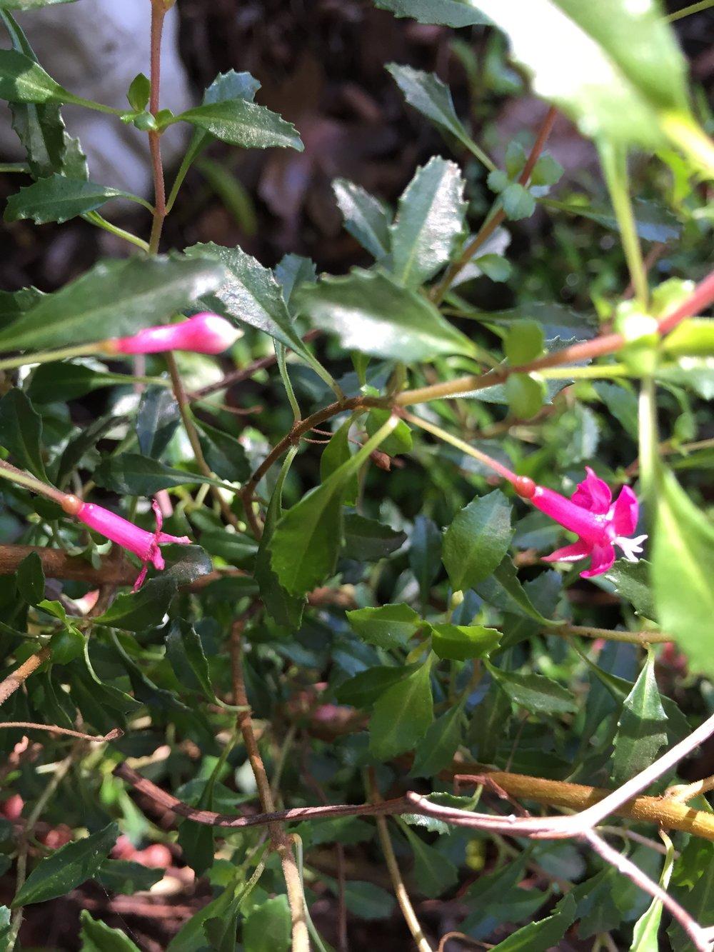 Fuchsia Tymafolia