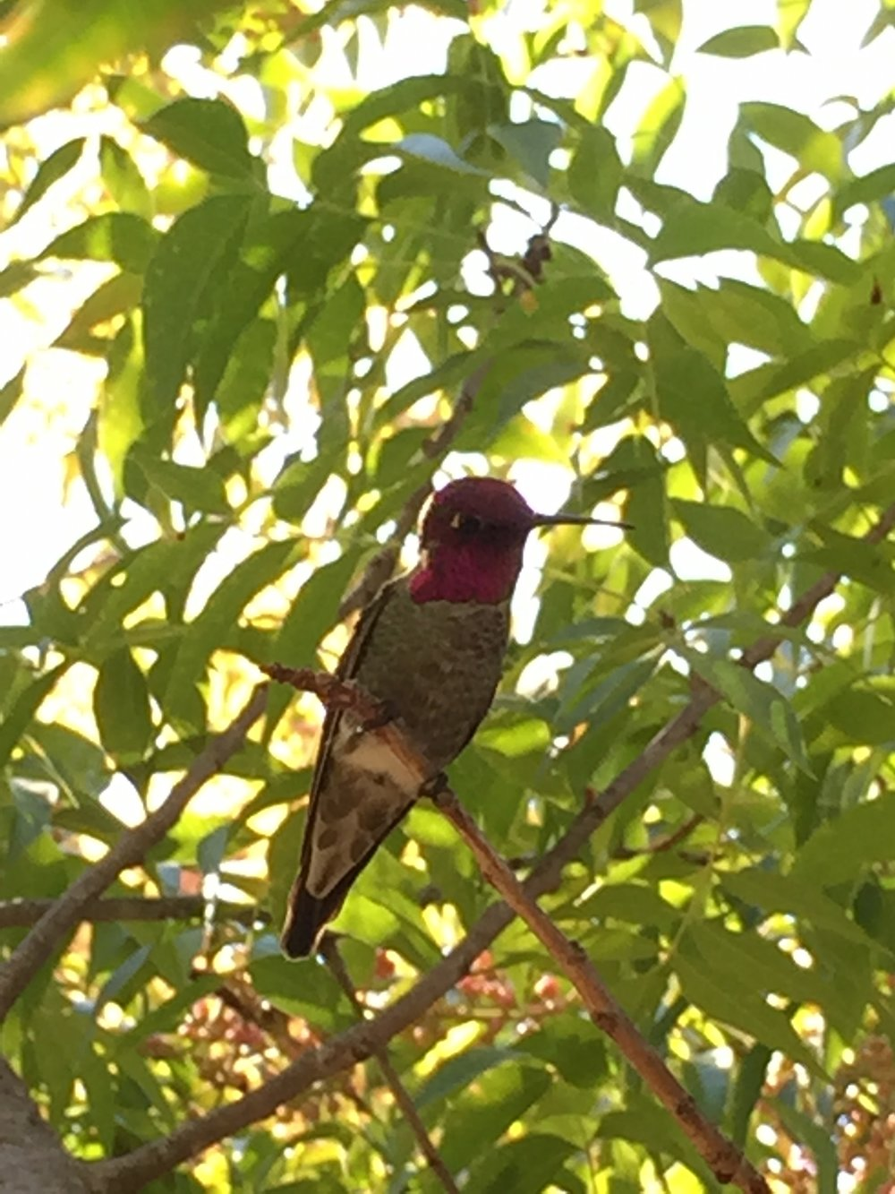 Anna's Hummingbird in our Chinese Pistache tree, near the feeder