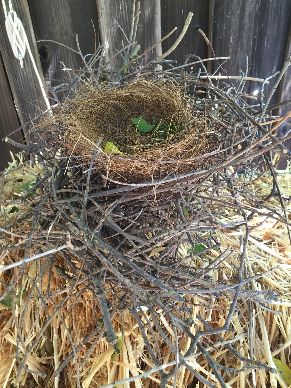 Scrub Jay nest found in the privet