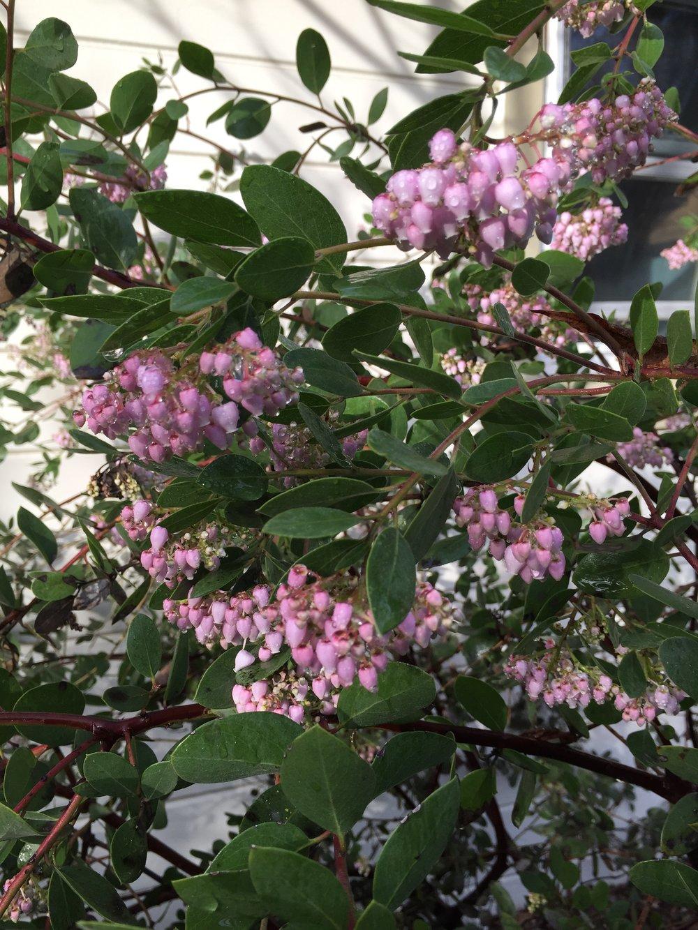 Arctostaphylos densiflora 'Howard McMinn' in my garden
