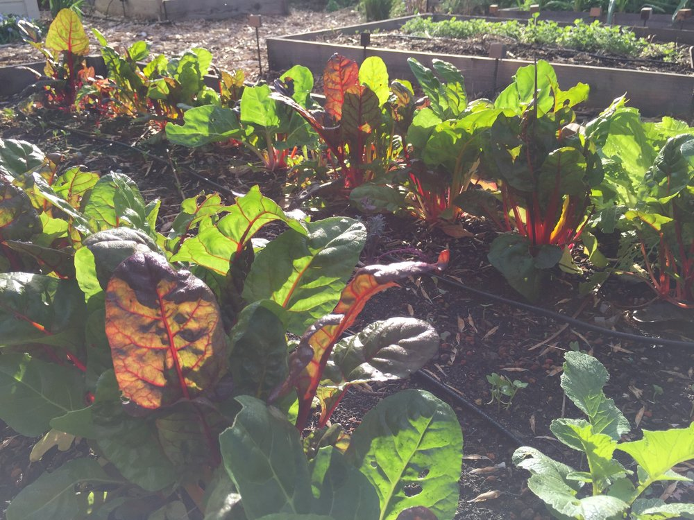 Swiss Chard in the morning sun