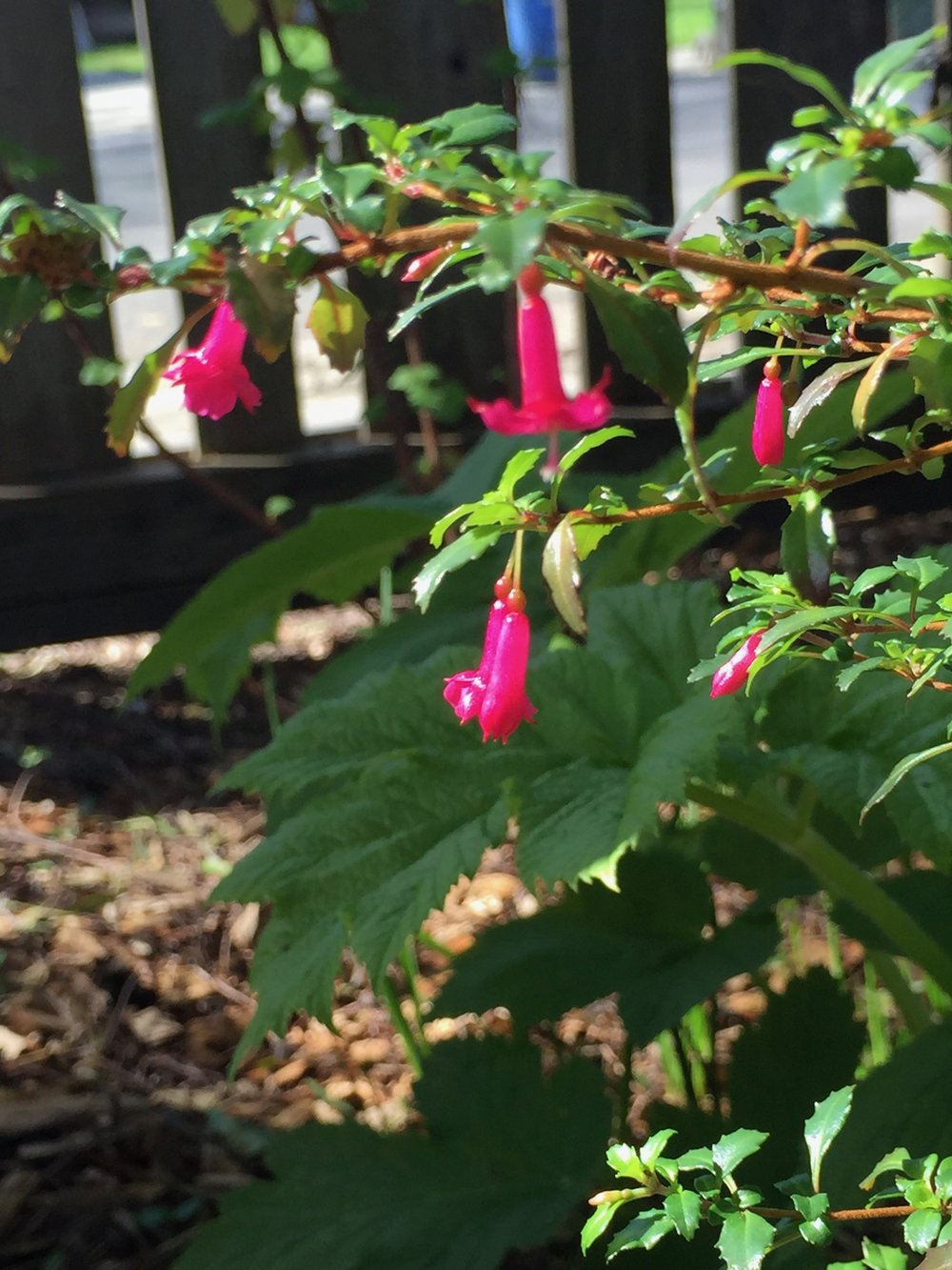 Fuchsia thymifolia -  or Thyme-leaved Fuchsia, this one hails from Mexico. The entire plant is compact and a beautiful green, and the flowers simply cover the plant. Bees love this. I have it in the woodland section of my garden, so it gets dappled shade and infrequent water.
