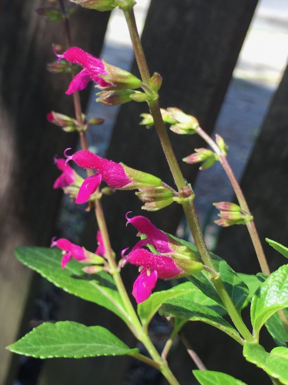 I think this is a salvia? I have so many salvias and sages all over my garden, in both shade and sun, water and no water. They all perform spectacularly. This one has been blooming all winter, and in fact I don't think I've ever seen it OUT of bloom. The  Salvia iodantha  is also blooming now and is really something, I've posted a picture of that one recently.