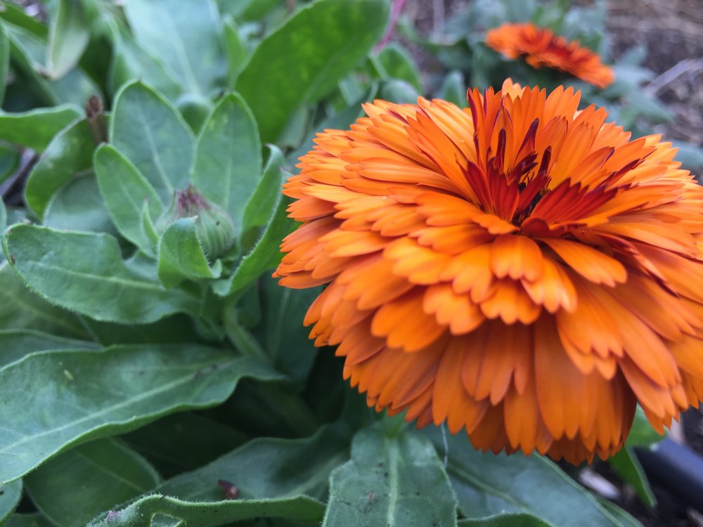 Calendula officinalis 'Flashback'