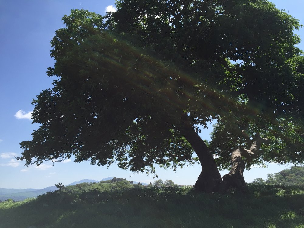 Looking up a ridge in Briones Regional Park, to a beautiful California Buckeye tree, and Mt. Diablo in the distance