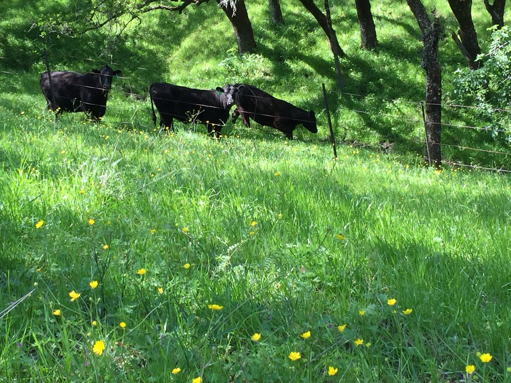 Cattle grazing in Briones amongst native and exotic grasses, and native buttercups