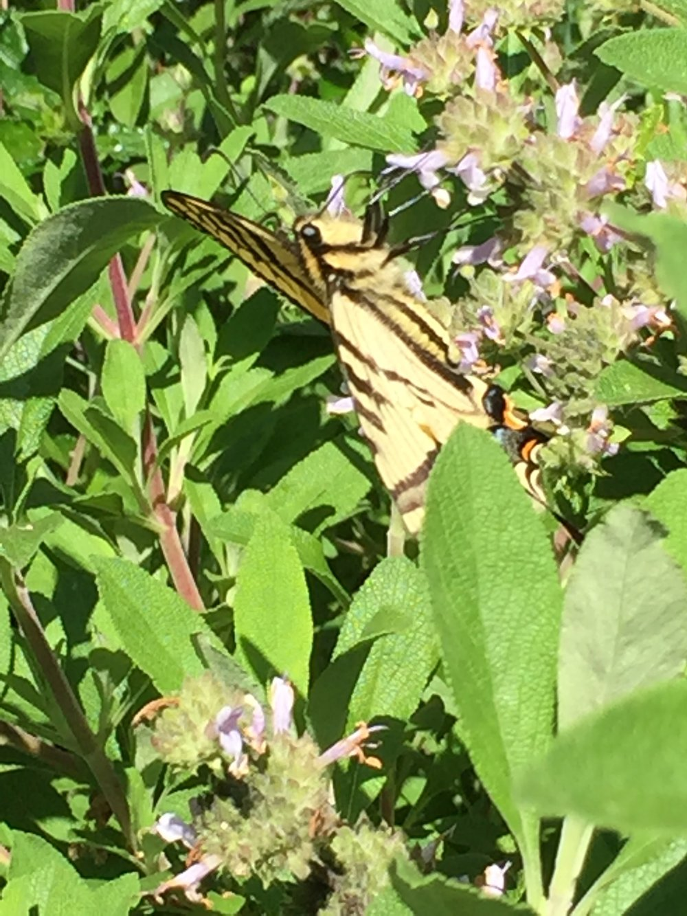 Western Swallowtail feeding on Salvia