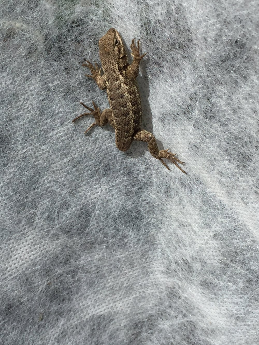 Western Fence Lizard catching some rays on the row cover