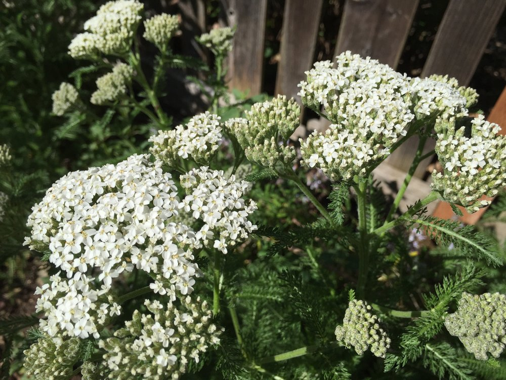 Achillea millefolium (White Yarrow) blooming in one of the pollinator gardens