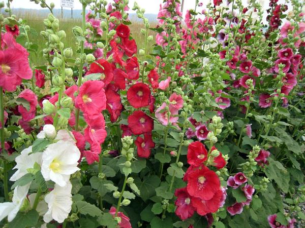 Not my Hollyhocks. Just a picture I found on the web. I only dream of flowers like these.