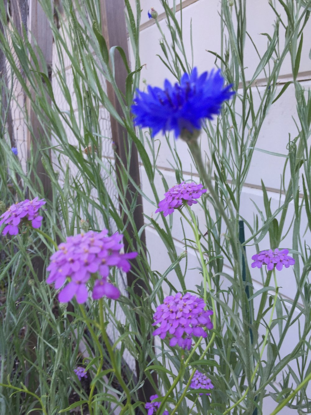 Heirloom cornflowers 'Blue Boy' with a flower I cannot figure out, either a verbena or a wallflower
