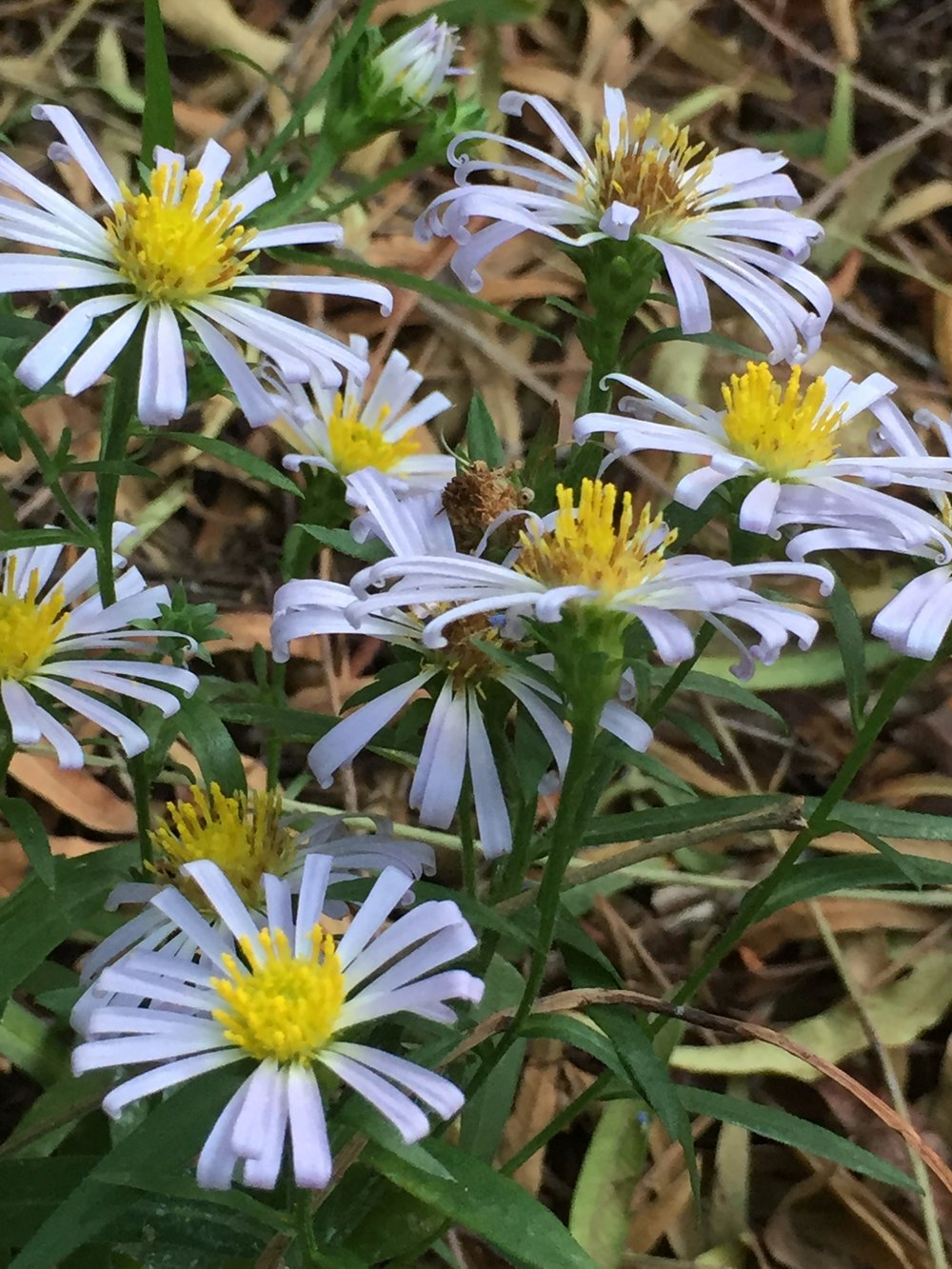 Aster chilensis,or California Aster