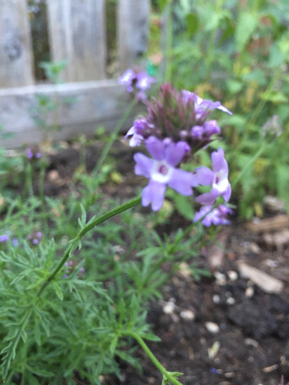 Verbena lilicina 'de la Mina'