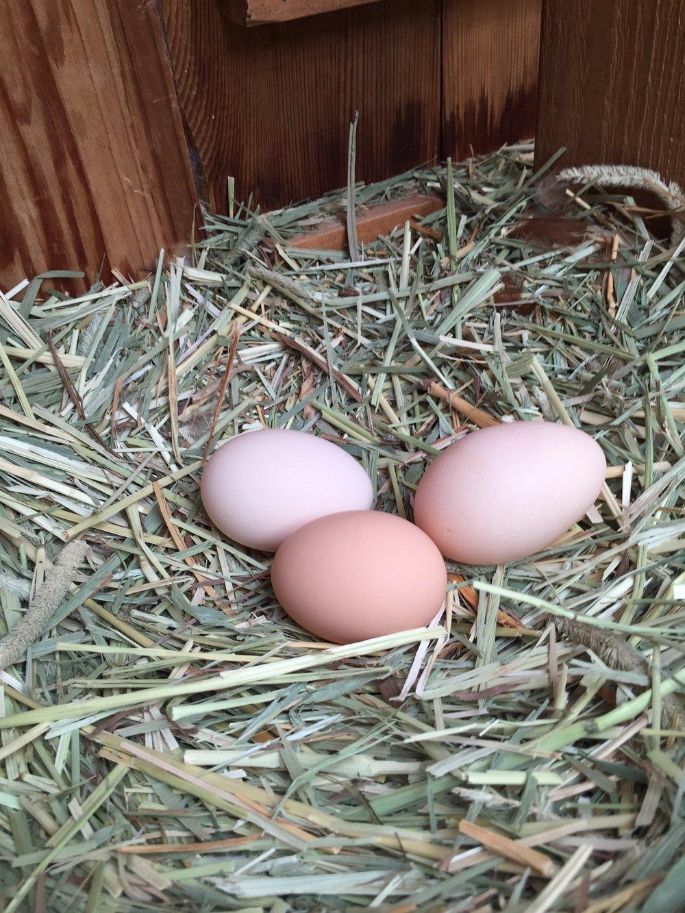 Fresh eggs laid on fresh timothy straw