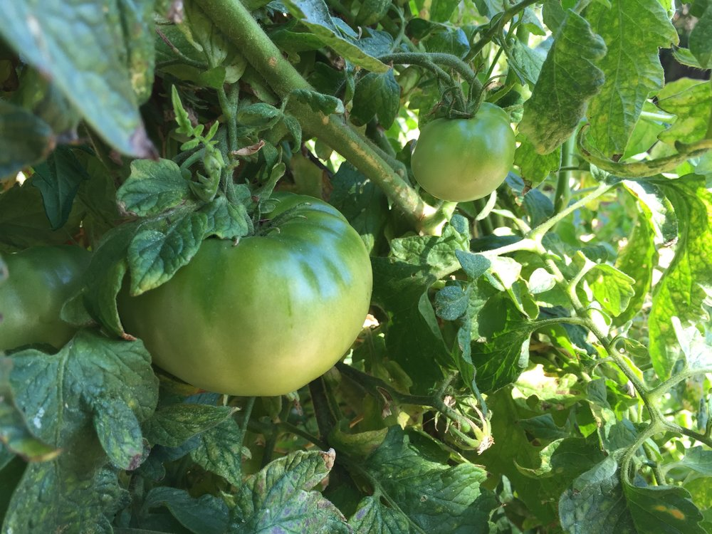 still a lot of green tomatoes on the vines