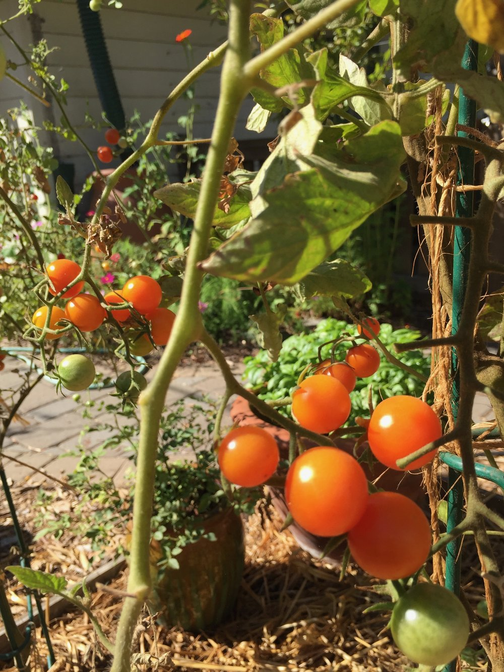 Sungold cherry tomatoes, still producing even though the plant itself is looking pretty spent