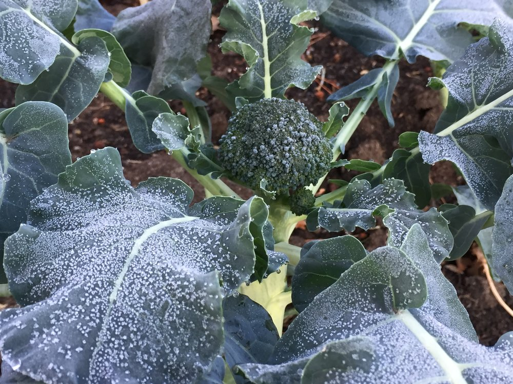 Cold broccoli