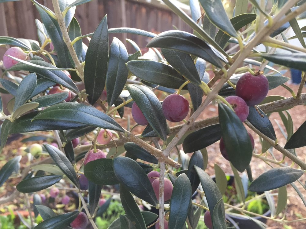 Arbequina olives, getting closer to harvest. These two trees are in very large pots, but I'm planning on transplanting them into a space where a privet has been. The privet is now a 15-ft tall tree, and is terribly good at reseeding itself, blech. The only reason I've left it so long is for the bees - they love the flowers. But it's time to remove it. And the olives will be happier in the ground, though they will need excellent drainage.