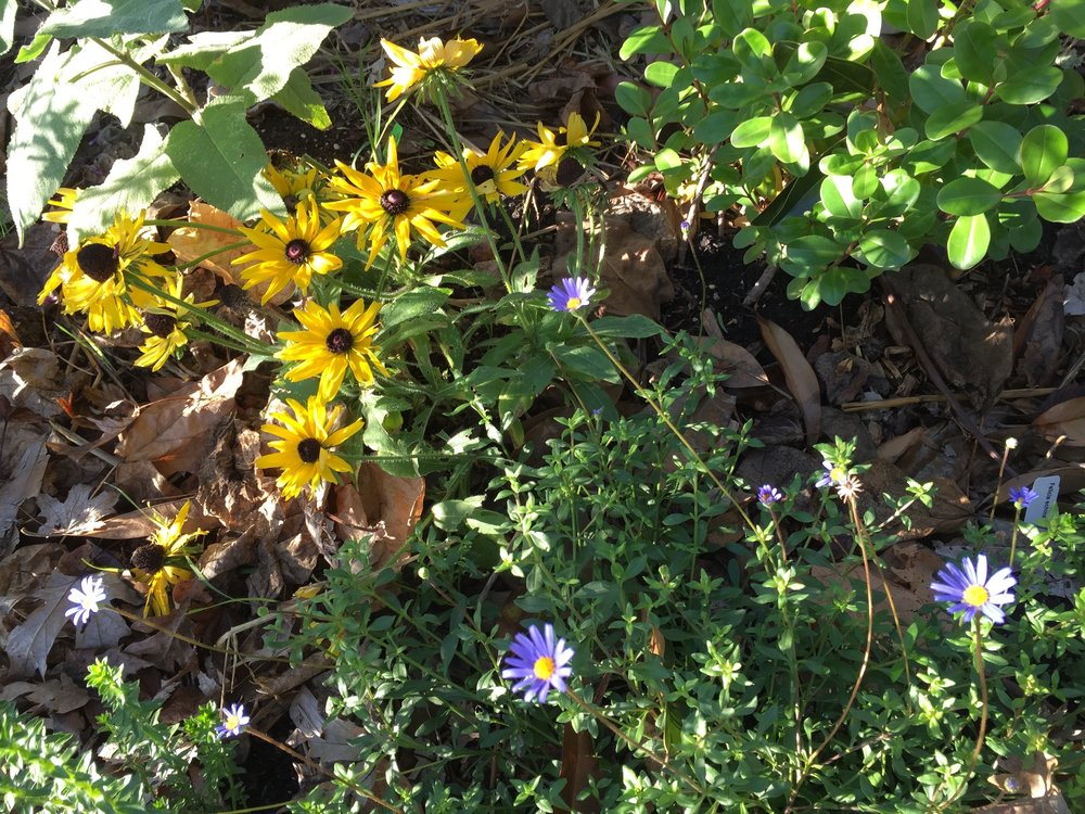 Some flowers are not minding the cold - the yellow is Rudbeckia hirta and the purple is Felicia echinata.