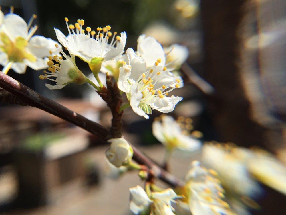 Prunus salicina  'Santa Rosa' plum