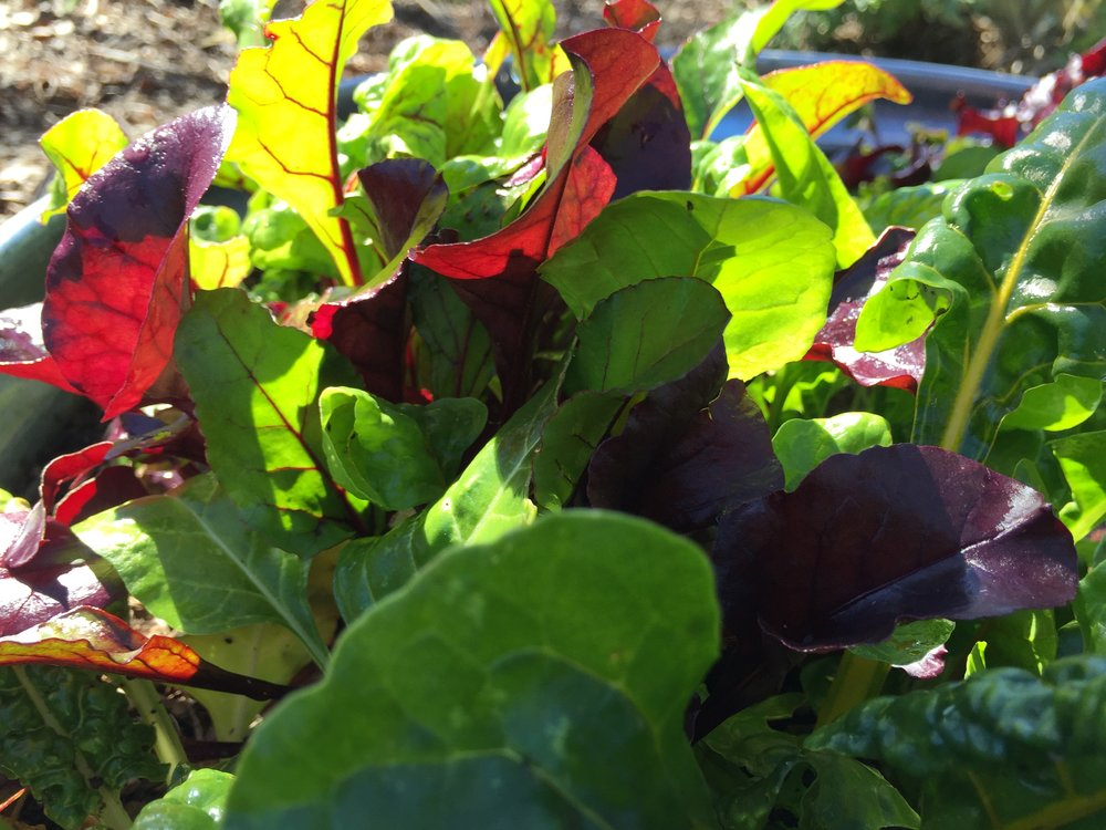 braising greens - different kinds of chard, beet greens, kale