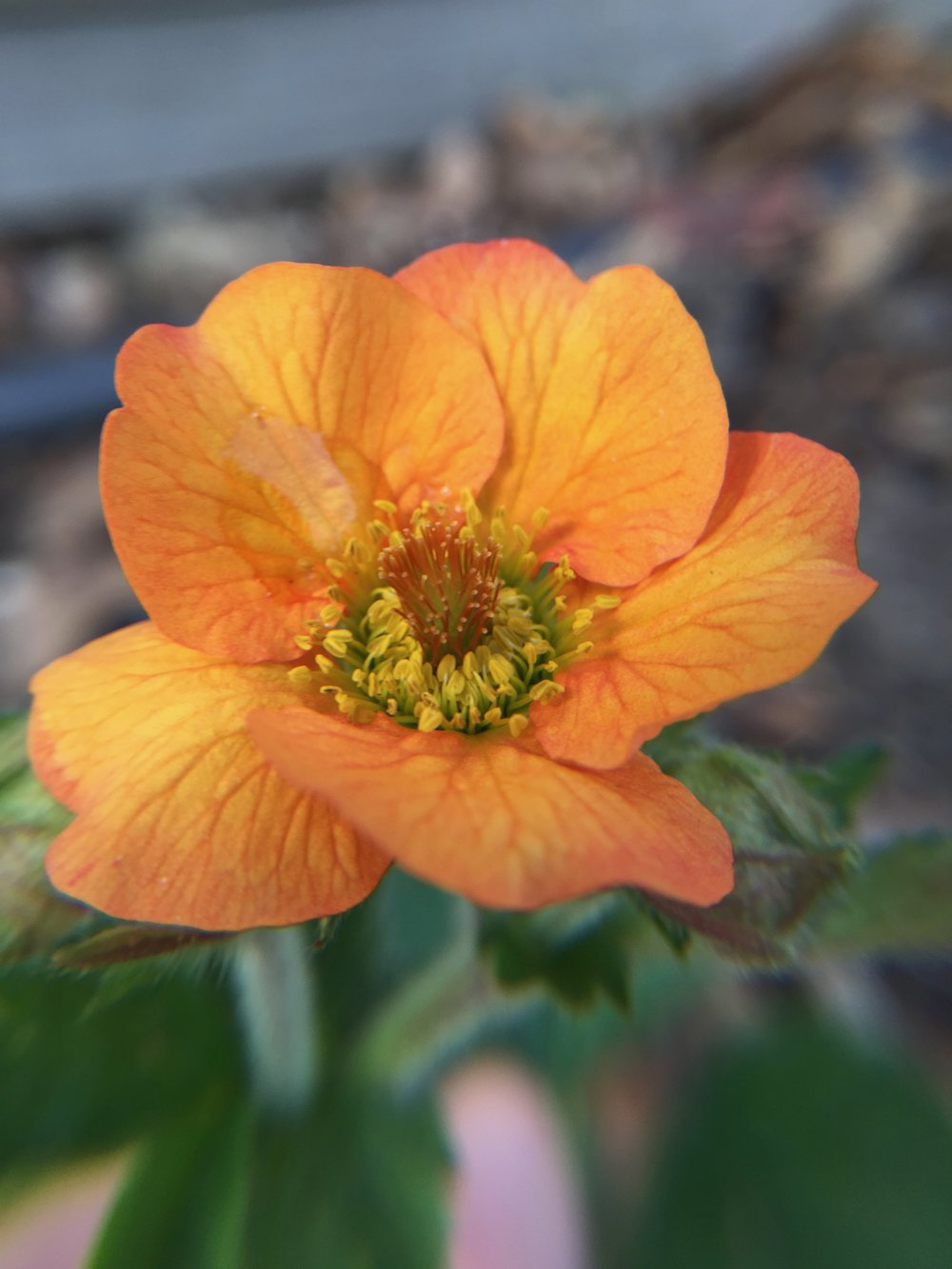 Geum coccineum  'Totally Tangerine' - planted last year, finally blooming