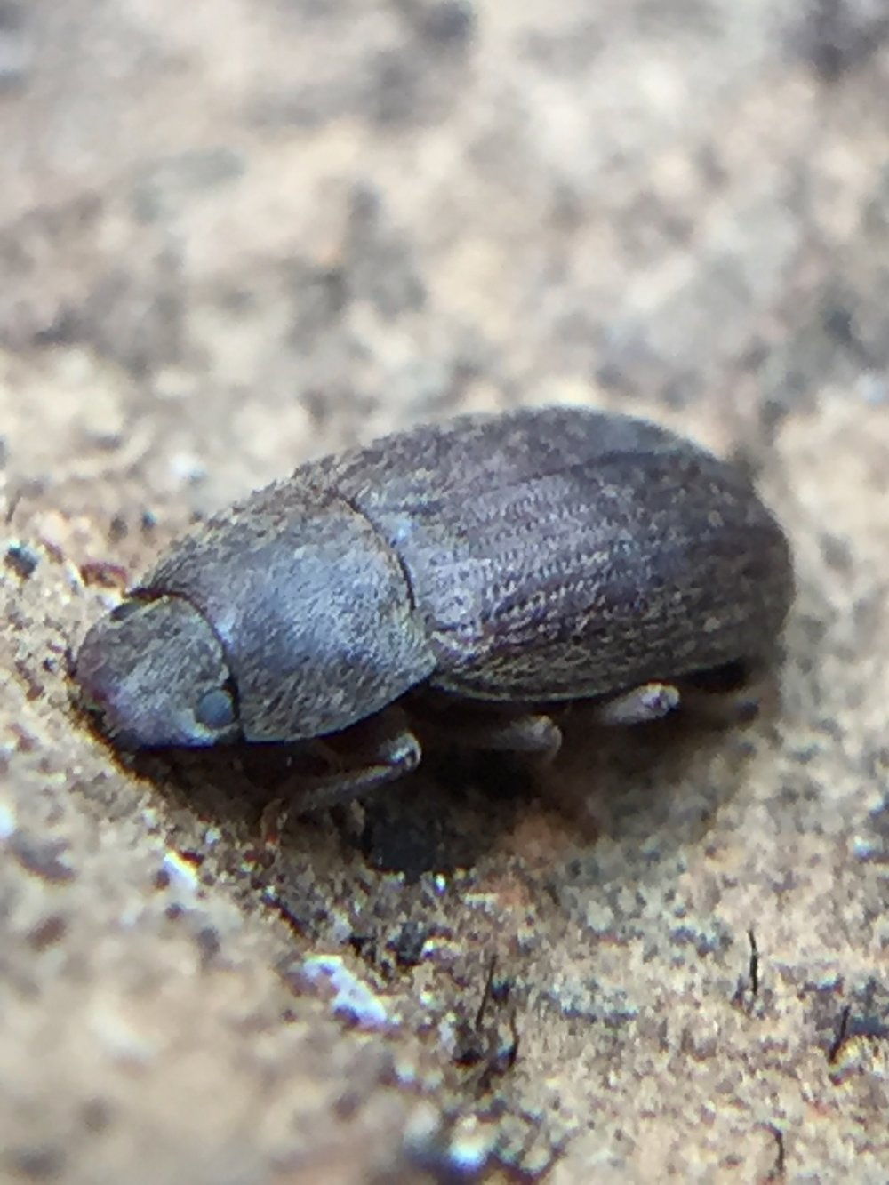 I've no idea what kind of beetle this is.