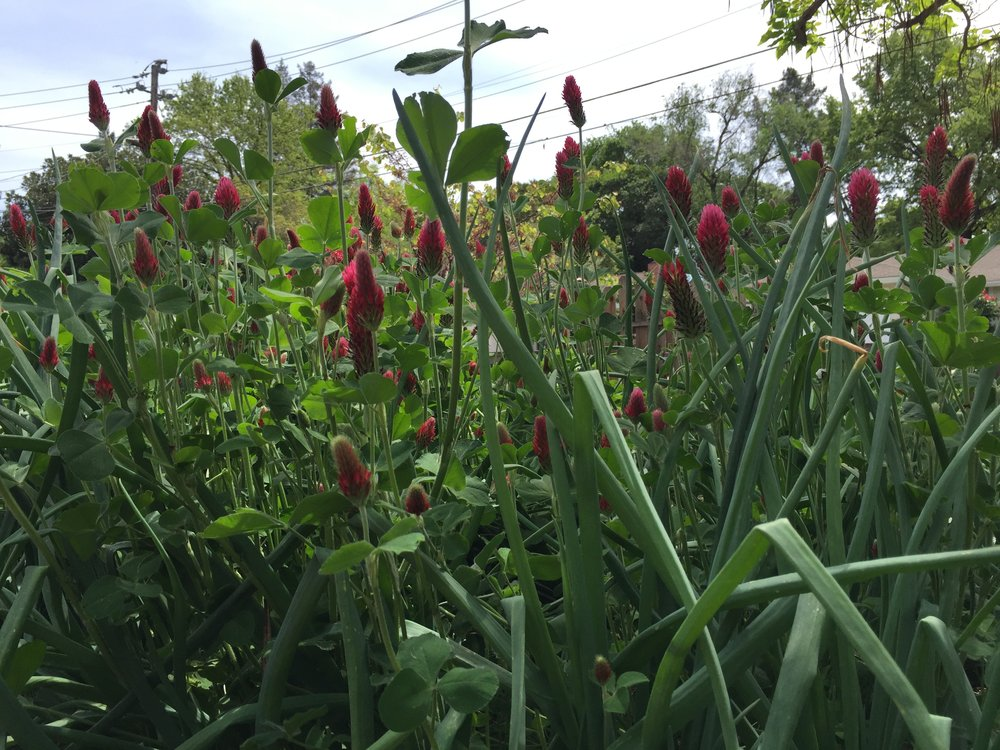 Crimson Clover growing amongst the Red Shallots