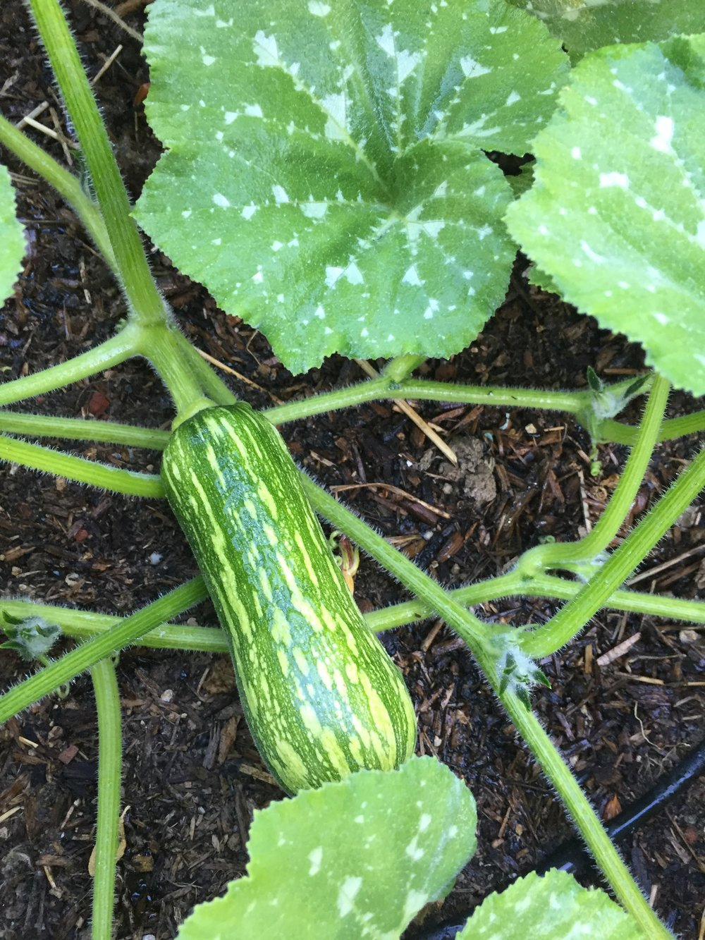 Butternut squash and pumpkins have started fruiting.