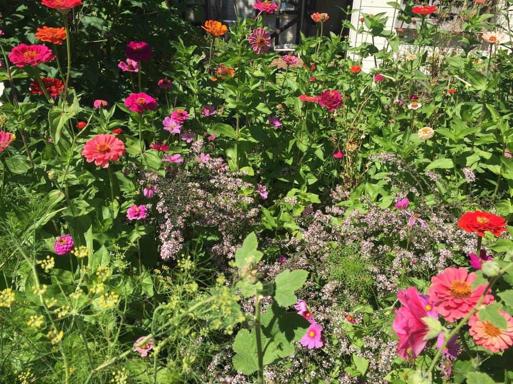 Zinnia (all kinds), aster, hollyhock, cosmos, tithonia, fennel, gailliardia, passionflower, native sunflower, nicotiana, cuphea, dahlia, Bishop's Lace, four o'clocks, and salvia