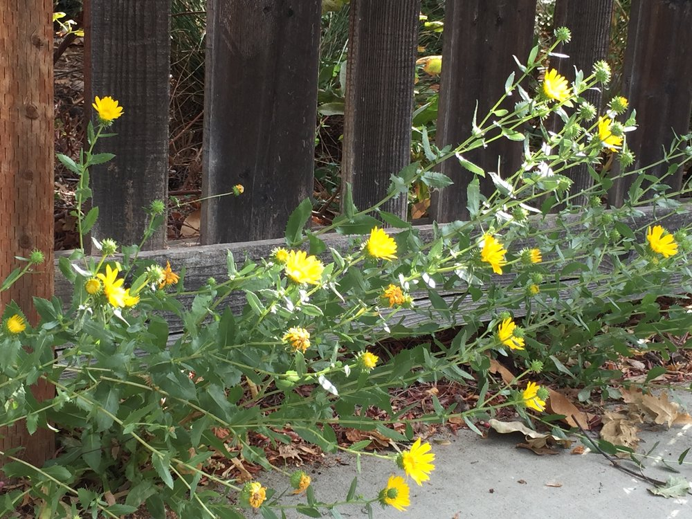 Grindelia  sneaking out under the fence