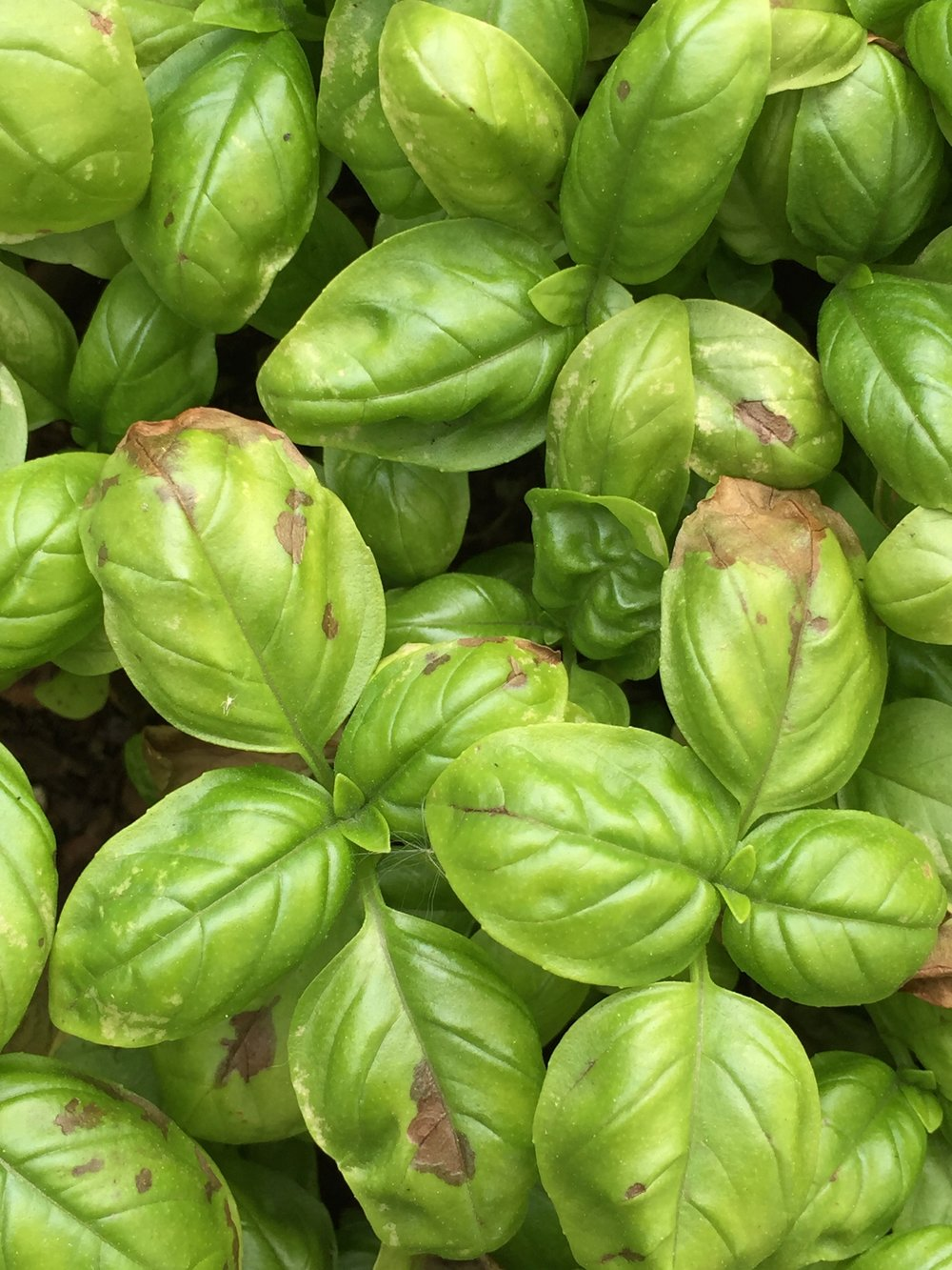 the cold nights are taking their toll on the basil
