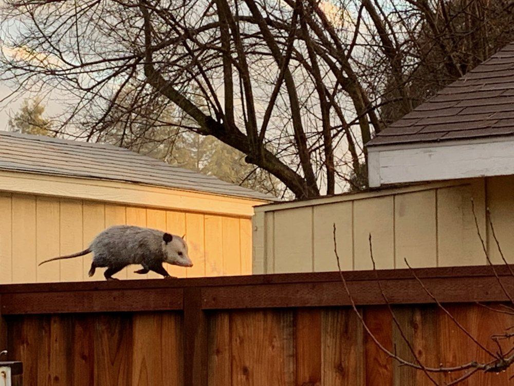 Our friend the opossum, making her way along the fence about 8 a.m., back to Adam's train shed, under which she has lived for many years