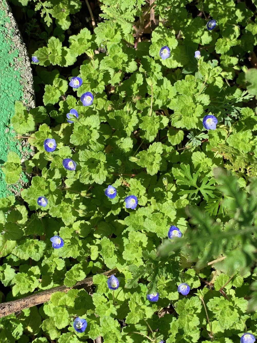 a pretty weed - Veronica