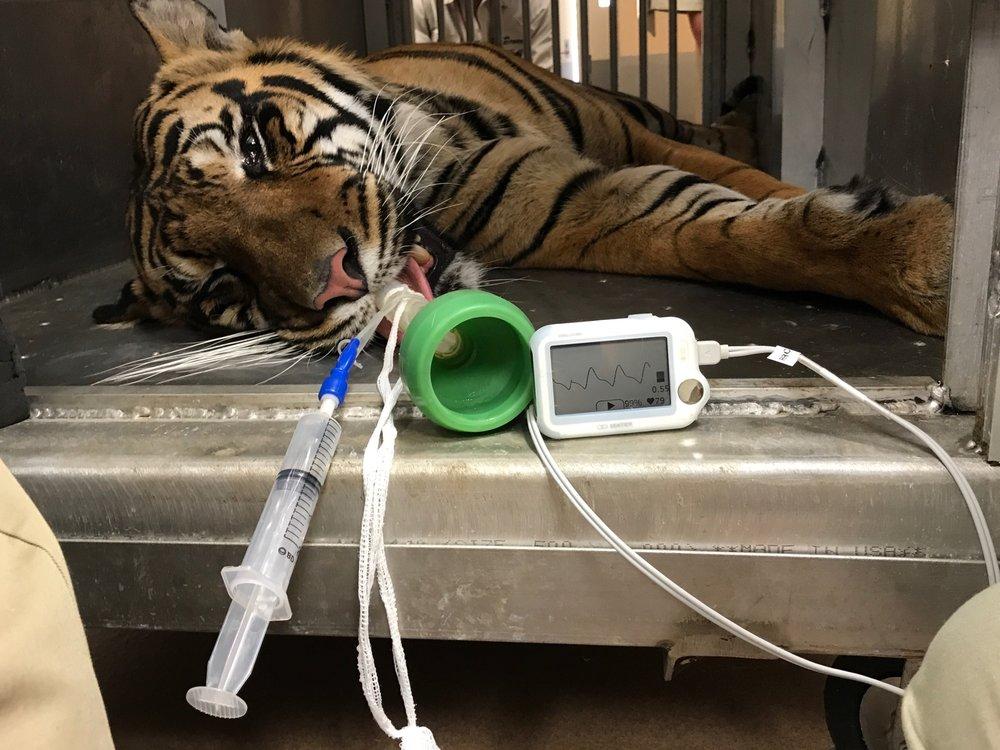 Vetcorder on a Tiger