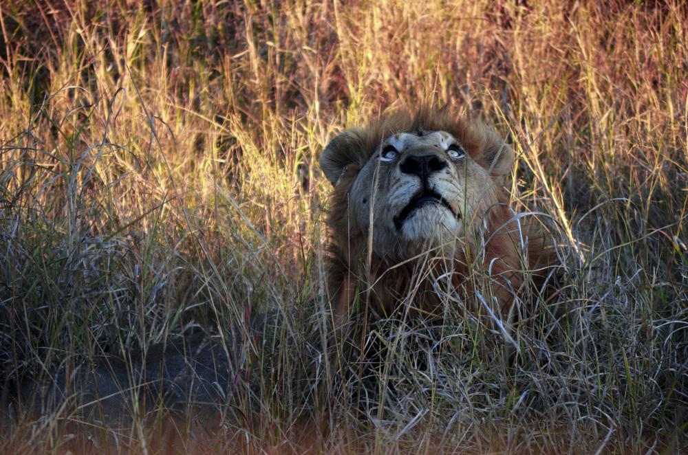 Lion's Vision_1.jpg