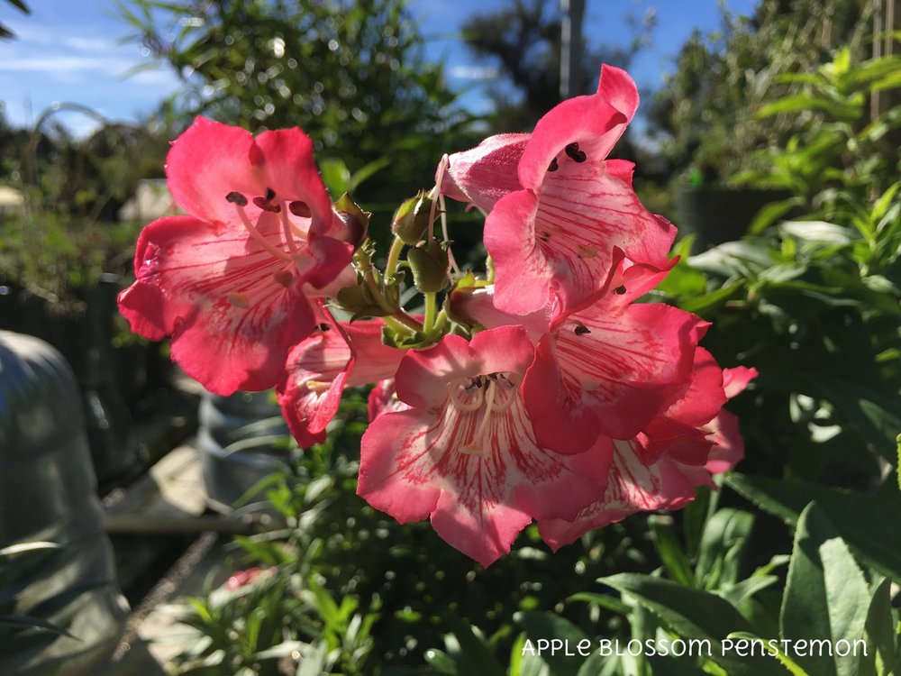 Apple Blossom Penstemon.jpg