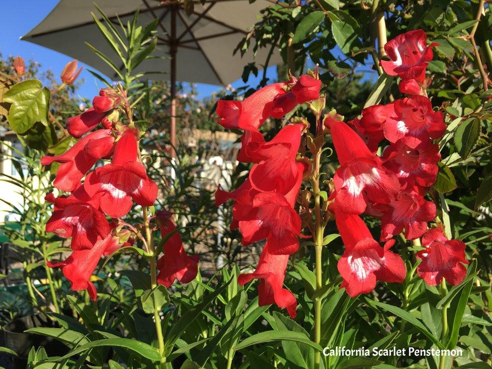 California Scarlet Penstemon.jpg