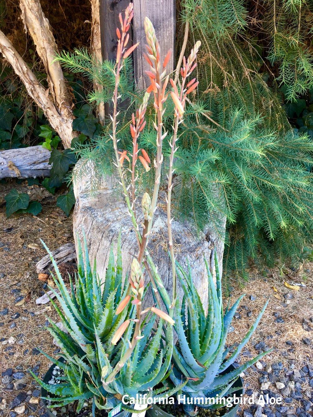 California Hummingbird Aloe.jpg