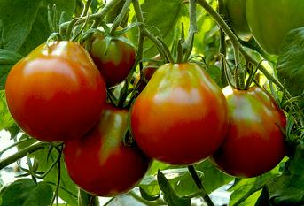 Tomato.JapaneseBlackTrifele.png