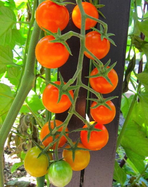 Tomato.SunGold.01.2014.200kb.jpeg