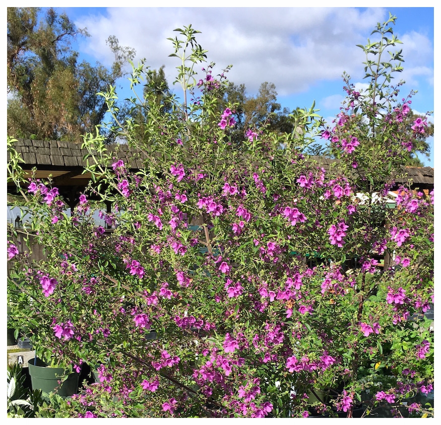 Australian Purple Mint Bush