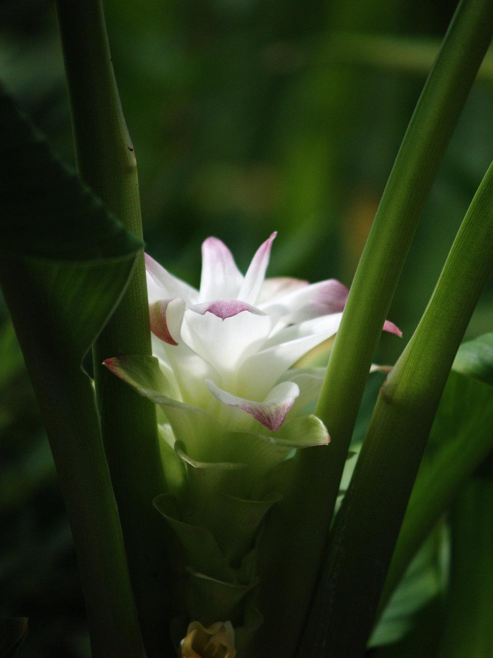 Turmeric Blossom