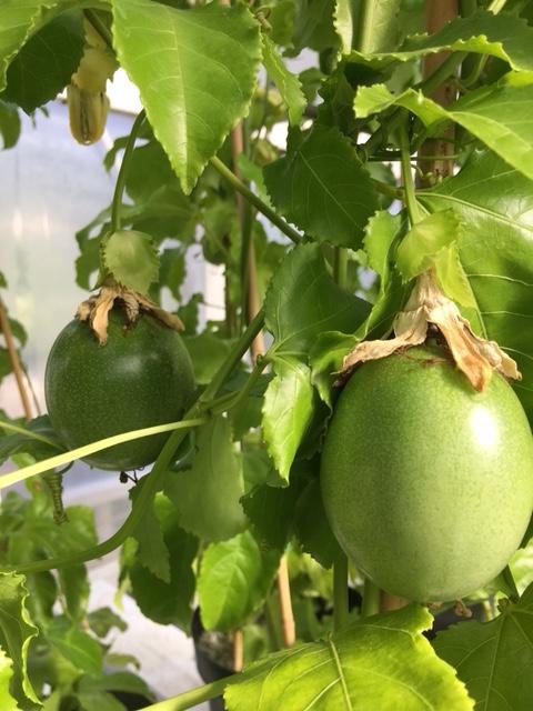 Lilikoi Passionfruit