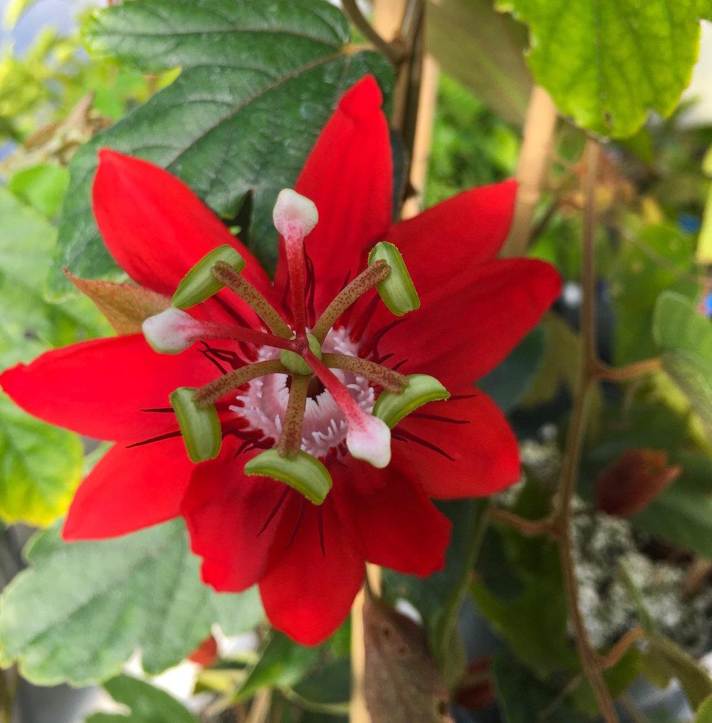Perfume Crimson Passionflower