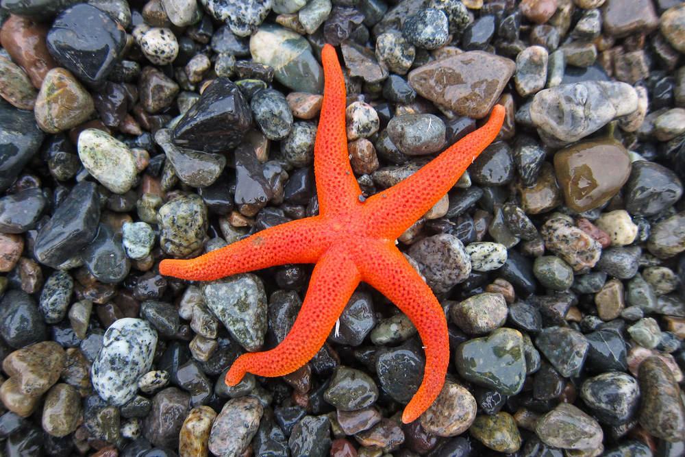 pacific-bloodstar-seastar-vancouver-island.jpg